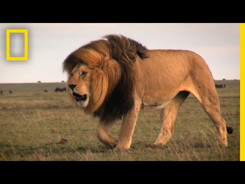 Warrior Watch: Protecting Kenya's Lions | Explorers in the Field
